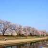 お花見に行く 『前川堤の桜並木』 ~人が混まないお花見ポイントを目指してみました~
