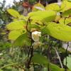 2012/04/26 マタタビの花が咲いたよ!今年は実が成るといいな