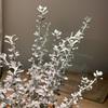 妻が植物デビュー!オレアリア リトルスモーキーをお迎えしました。