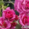 2011/06/05 クィーンエリザベスの枝変わりがキレイに咲いた////追記(たぶん紫雲(^_^;)