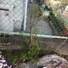 我が家のお花たちの成長いろいろ-2・・・ユキヤナギ編