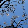啓蟄次候(3/10~3/14)「桃始笑」