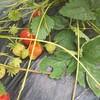 苺作りの総括:苺栽培初めての方が気を付けた方が良いと思われる注意点まとめ