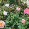 白のシュウメイギクとウエルデルマニーが咲きました♪
