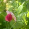 豆苗が育って開花です。