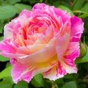 泥濘と薔薇