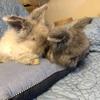 パンダちゃんの子ウサギ 生後2ヶ月