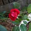 また咲きました マリアンデール