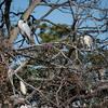 カラスに脅されてゴイサギが野鳥の島に避難中
