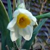 2010 早咲きの日本水仙
