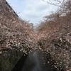 【目黒川】中目黒の桜 開花状況【2017年4月2日】