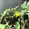 トマトに花が付いたよ