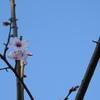 """春を告げる使者""""コチドリ""""に遭遇‼ Nikon「COOLPIX P900」で野鳥撮影《第6回目》"""