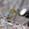 日本  日本 2月2日の文殊の森公園の野鳥たち