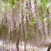 4/25 曼荼羅寺公園藤まつり