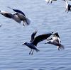 手賀沼公園で乱舞するユリカモメ