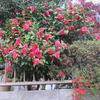 群れ咲く椿
