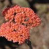 コーラルピンクのお花です