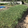 【セスバニア】いくら夏の緑肥といってもこれだけ乾燥しちゃうとな・・・