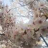 京都は桜満開。