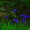 鎌倉海蔵寺 7月の燕子花