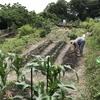 次はサツマイモの収穫だ!シープファーム活動日記。