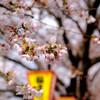 一目千本桜 3分咲きくらい?