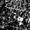 OLYMPUSのコンデジ 「XZ-10」で2017年1月16日までに撮影した写真を紹介します。モノクロでハクバイとオオイヌノフグリの花を撮りました