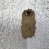 豊橋市で壁についた泥の塊に更に土を運ぶハチを退治してきました!
