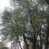 オリンピックの木?
