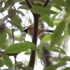 ミサゴ・シメ・ヤマガラ、バンそれにタヌキ?(大阪城野鳥探鳥 20191130 6:15-12:30)