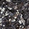 梅の花から顔を出すヒヨドリ