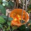 カラマンダリンの収穫が始まった