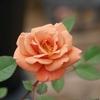 雪印で薔薇。