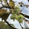 「マダム倶楽部」活動報告 花を愛で、鯉に餌をやり、いつもの公園ですが、楽しみ方色々デス♪ 4月16日