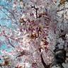 宇治川の平成最後の桜は散ってしまいましたが
