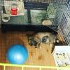 ウサギのサークル飼いは床掃除との戦い! 最適な床材発見でサークル飼い成功!