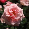 市川市動植物園のバラ「ブライダル・ピンク」