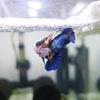 ベタの繁殖と稚魚成長の記録(動画あり)