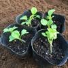 菜の花定植