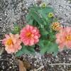ジニア植えつけとダリア ブラックナイト1番花