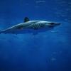 営業再開後の水族館でアオザメを見た【八景島シーパラダイス】