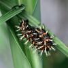 ルリタテハの終齢幼虫