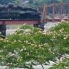熊本八代 ネムノキの花、バックにSL