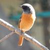 ジョウビタキ - 寒い冬を暖めてくれるおじいちゃん鳥 | 鳥紹介