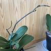 胡蝶蘭の花芽