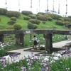 玉名の高瀬裏川で花しょうぶが見ごろ