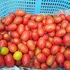 調理用トマト初収穫
