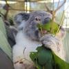 【パース観光】オーストラリアで一番やりたかったこと、コアラ抱っこ。