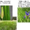 アヤメ(2)   大好きな花の1つアヤメ,しかしこの花,紛らわしいことが大好き?  紛らわしさ3. アヤメと菖蒲(しょうぶ):ショウブから「あやめ」の名を奪い取った植物アヤメ あやめぐさ/万葉集 ほととぎす、いとふときなし、あやめぐさ、かづらにせむひ、こゆなきわたれ 田辺福麻呂
